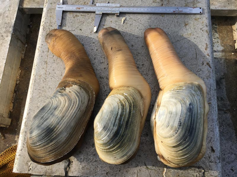 Commercial Shellfish Management – Geoduck Survey