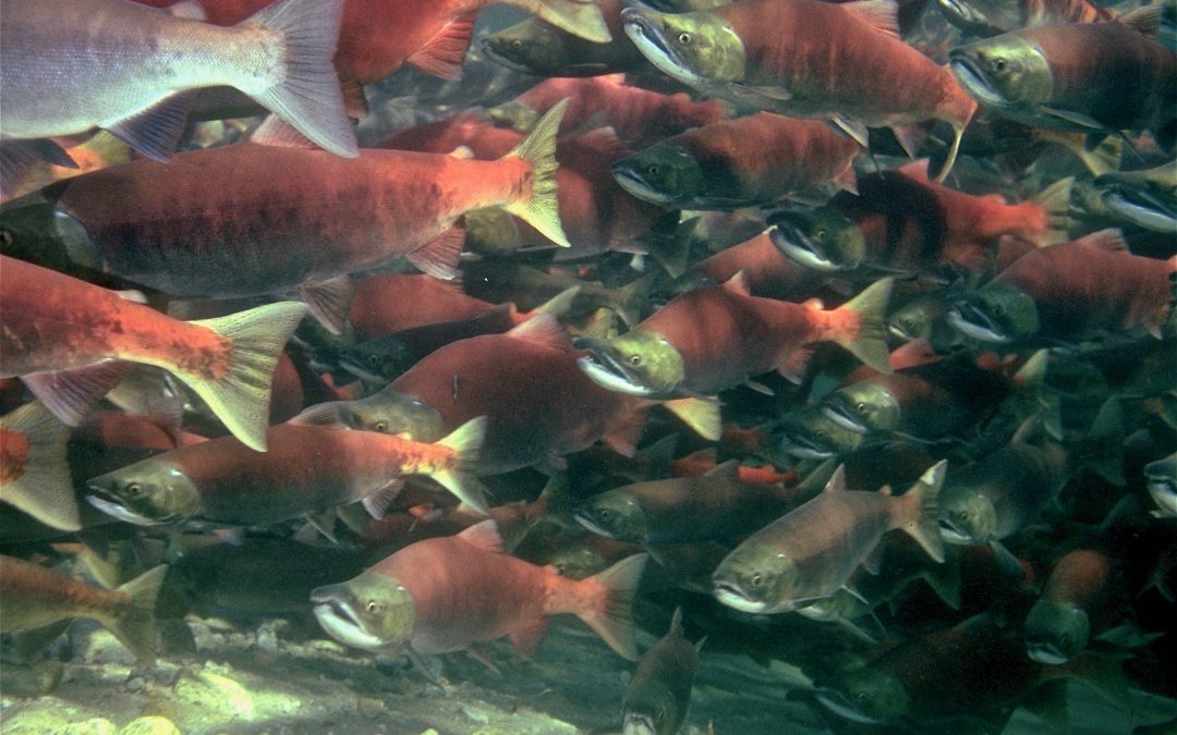 New Science Publication Quantifies Record-Setting Salmon Abundance in North Pacific Ocean